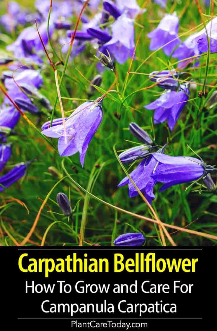 Campanula Carpatica Info How To Grow Carpathian Bellflower Herbaceous Perennials Bellflower Campanula