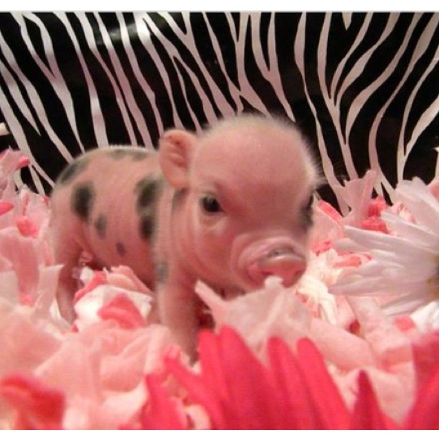 This is the exact color and size I want my micro-mini piggy to be!!!  Sooooo adorable:)!