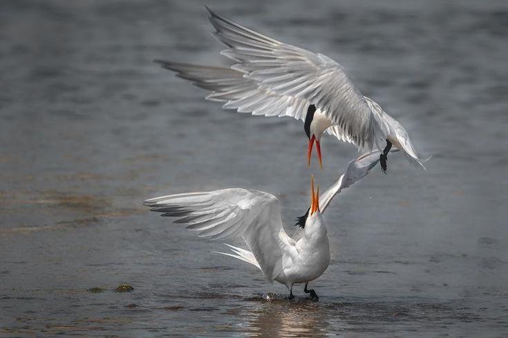 Elegant tern's elegant attack by Boris Droutman