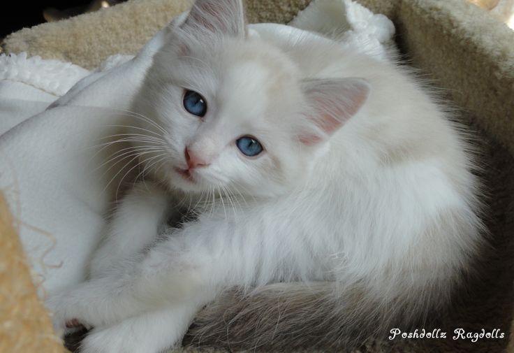 himalayan cat name