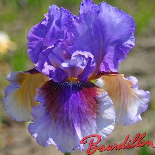 Iris : LIGHTS CAMERA ACTION - bourdillon