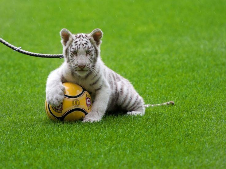 Un tigre blanc âgé de 14 semaines né au zoo de Stukenbrock en Allemagne, joue dans le stade de football de Dresde, le 22 septembre, lors d'une présentation à la presse du Cirque Sarrasani. (ARNO BURGI/DPA/AFP)