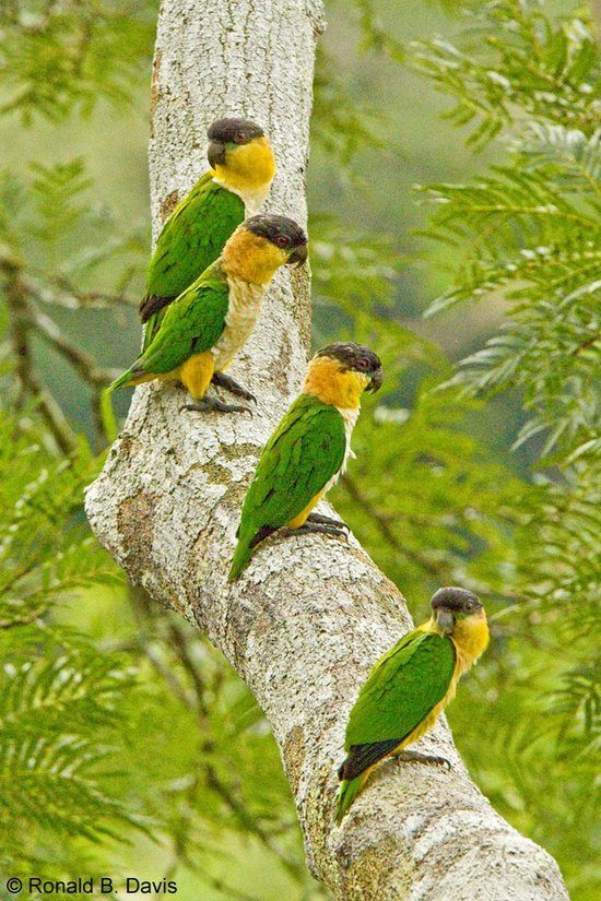 Black headed Parrots, found in the Amazon basin