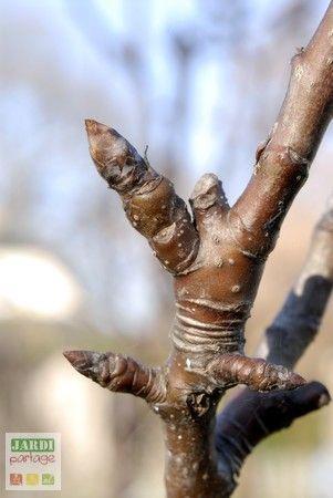 Avant de tailler un poirier ou un pommier, il faut apprendre à identifier leurs différents organes: oeil à bois, gourmand, brindille couronnée, lambourde, dard, bourse...comment les reconnaître ? http://www.jardipartage.fr/taille-poirier/