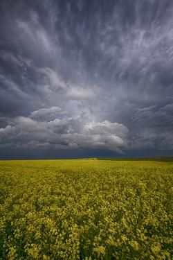 thunderstorm with hail over a canola field in Alberta near Lethbridge