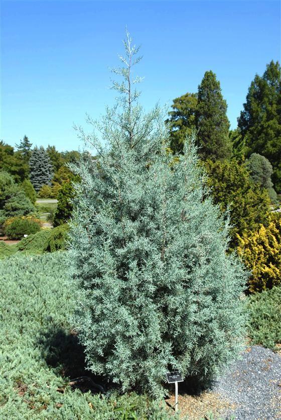 Image of 'cupressus arizonica var glabra blue ice'