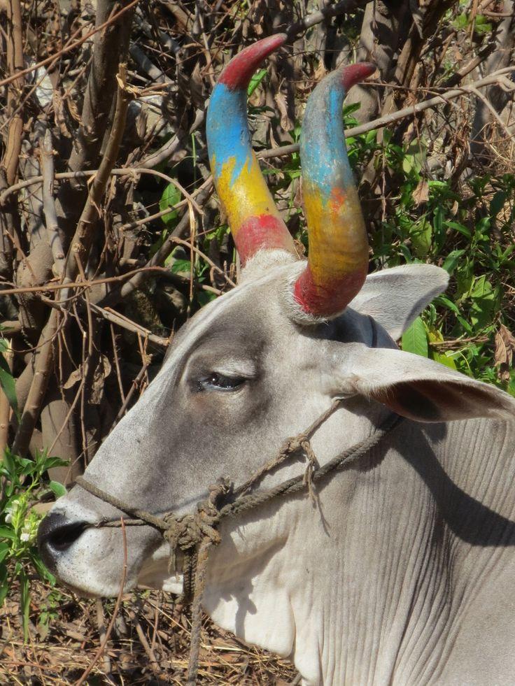 Vache sacrée et colorée