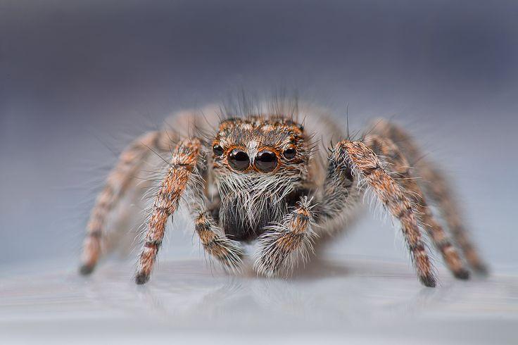 ЙЕТИ. Пауки-скакуны (лат. Salticidae) — семейство подотряда высших пауков, в которое входит более 550 родов и 5000 видов, это примерно 13 % всех видов пауков. У пауков-скакунчиков хорошее зрение, они им пользуются на охоте и навигации. Пауки пользуются лёгкими и трахейной системой, у них бимодальная дыхательная система. Автор: irina