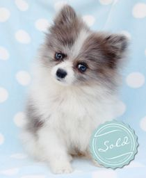 T-Cup Pomeranian Puppies For Sale