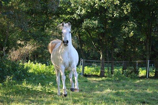 Paard, Matrijs, Volbloed Arabisch