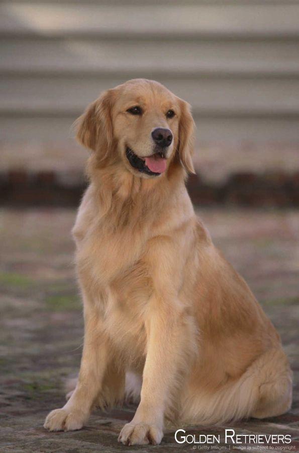 Golden Retriever Puppy Goldenretrievers Goldenretrieverclub