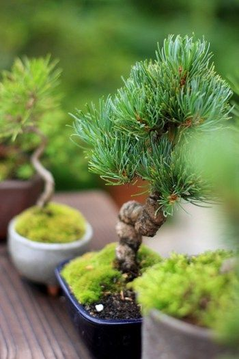 Bonsai garden - DIY Fairy Gardens