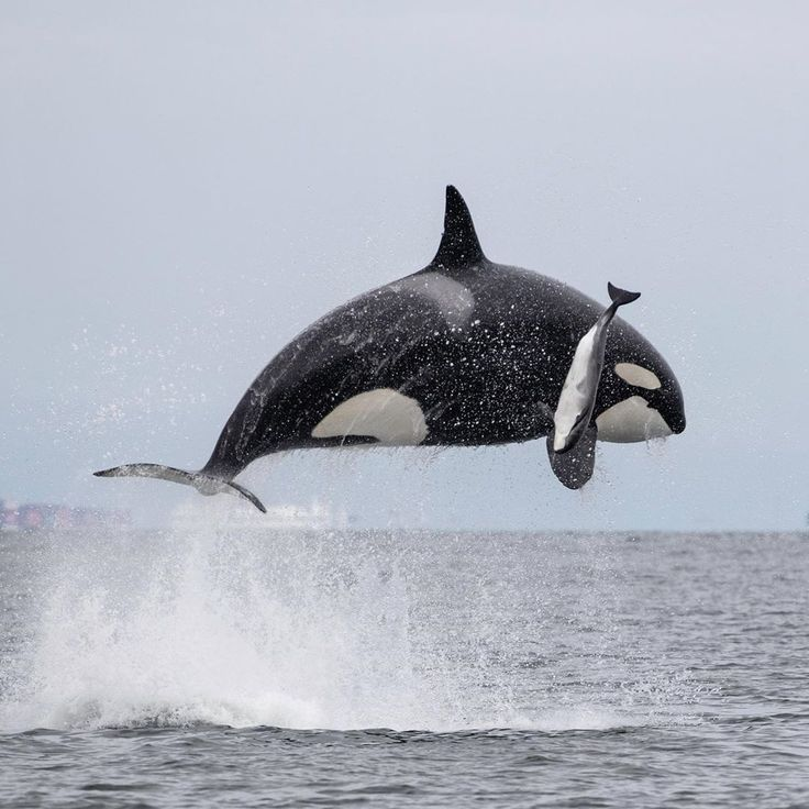 Orca hunting a porpoise in 2020 orca ocean animals