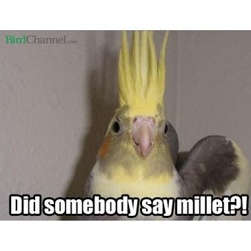 Does your pet bird love millet? Like and share this meme to let your bird friends know!