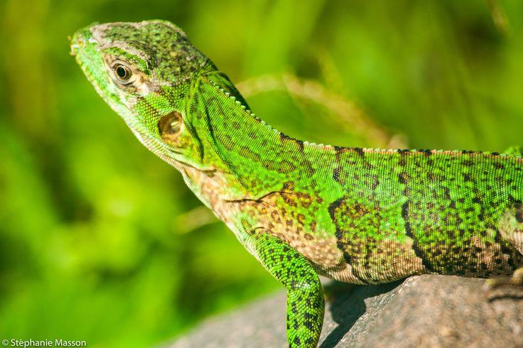 Lizard by Stéphanie Masson on 500px - Lizard in Costa Rica.