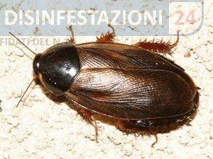 Scarafaggio del legno #disinfestazione #scarafaggi #suriname #pycnoscelus #surinamensis