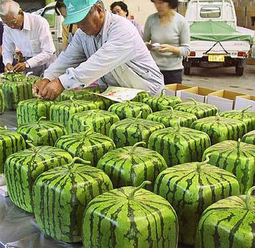 quadrate watermelon