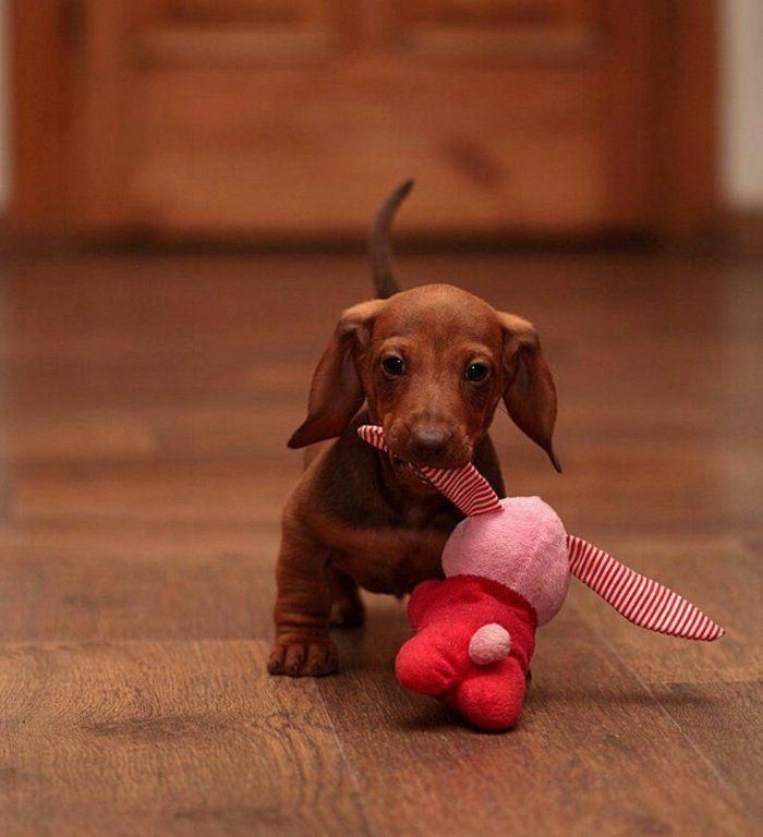 süße-Hunde-Bilder-kleiner-Dackel-Plüschtier-spielen