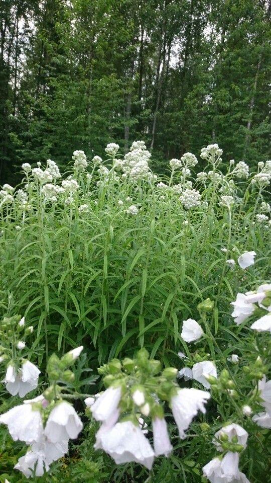 White flowers: Anaphalis margaritacea and Malva.