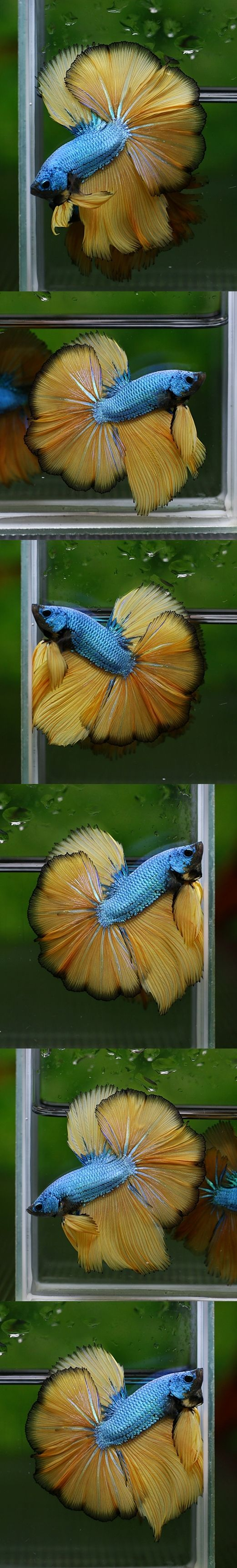 1000 images about siamese fighting fish betta fish for Types of betta fish petco