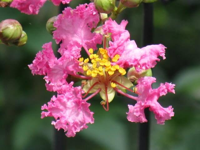 8月17日の誕生日の木は、夏じゅう鮮やかな紅色の花を咲かせる、夏の花木代表の「サルスベリ(百日紅)」です。 名前の由来はもちろん、樹幹を覆っている皮が薄く剥げ落ちやすく、また木肌がツルツルしており、木登り上手なサルでも滑ってしまうことからつけられました。 原産地は中国南部。漢名は「紫薇(しび)」または「百日紅(ヒャクジツコウ)」。漢名の「百日紅」は夏の盛りに100日近く咲き続けることに由来するのは有名ですね。 もうひとつ由来がありました。ある王子が恋人と100日後の再会を約束して旅立ったものの、戻ると既にその恋人は亡くなっており、埋葬された場所からこの木が生え、約束の日だった100日目に花が咲いたという伝説があるそうです。