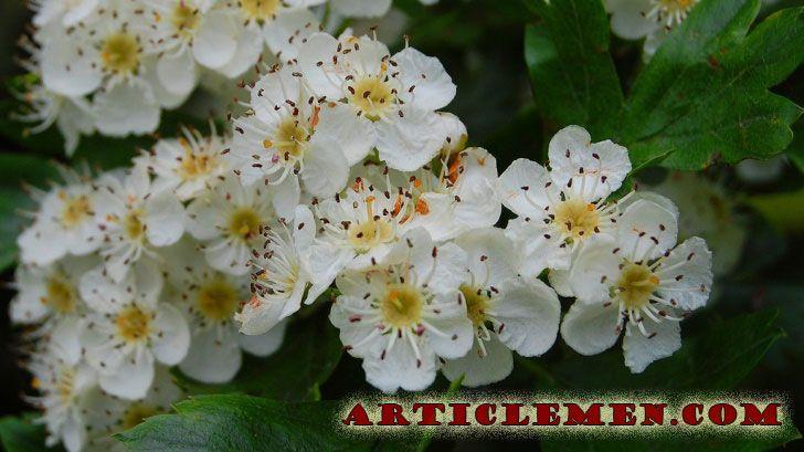 Цветы и корни боярышника