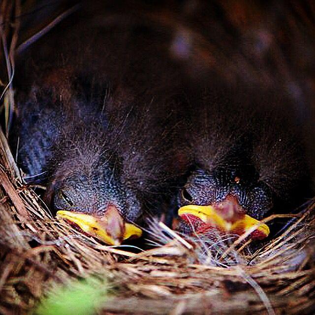 Fledglings, Rufous Collared Sparrows, Costa Rica