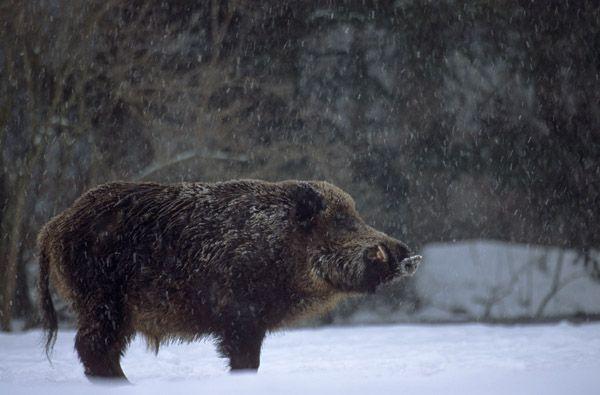 Wildschweinkeiler im Schneefall beobachtet aufmerksam den Waldrand - (Schwarzkittel - Wildschwein), Sus scrofa, Wild Boar tusker in snowfall observing alert the forest edge - (Wild Hog - Feral Pig)