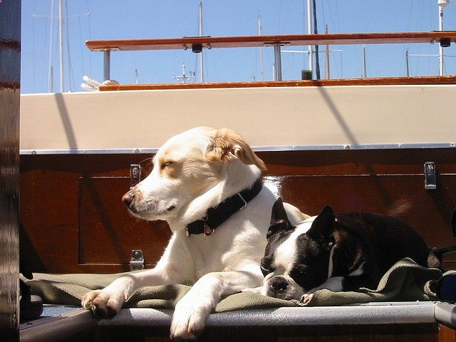 Tips for Sailing with a Pet on Board Your Boat #pet #boating #tips #info #advice #dog #cat #sailing #boat #ocean #salvage #boats #auction