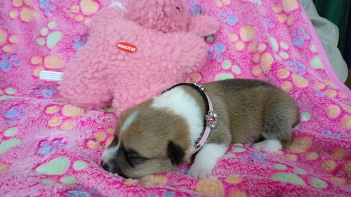 Pembroke Welsh Corgi puppy for sale in GARDEN GROVE, CA. ADN-45471 on PuppyFinder.com Gender: Female. Age: 1 Week Old