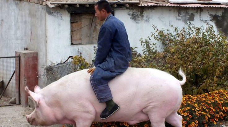 El cerdo, el mejor amigo de algunos hombres China Stringer Network - Las 15 fotos más extrañas de 2015 | Diario de Cultura
