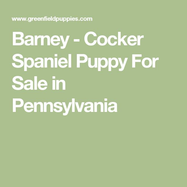 best 25  cocker spaniel for sale ideas on pinterest