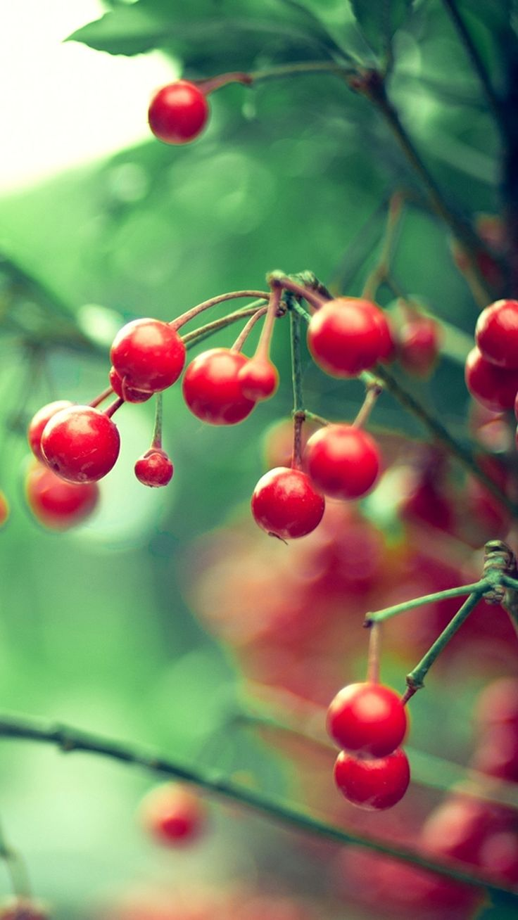 Nature Samsung Galaxy S5 Cherry Smartphone Wallpaper HD