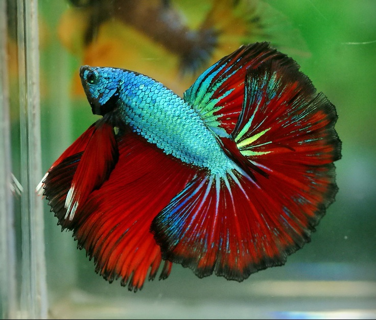17 best images about betta splendens on pinterest for Big betta fish