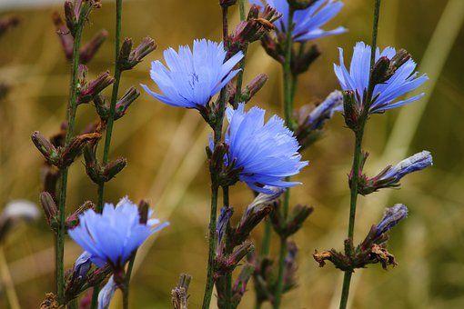 Free Image on Pixabay - Chicory, Common Chicory, Blossom ...