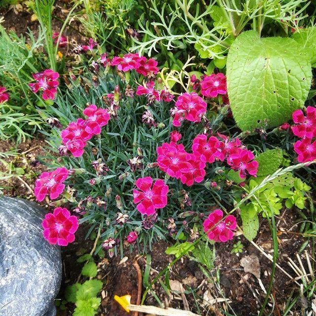 Meine Mini Nelken Bluhen So Schon Und Zahlreich Blumen Garten Nelken Mininelken Blumengarten Plants