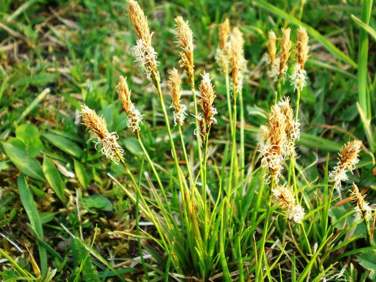 Осо́ка гвозди́чная, или Осока весе́нняя, или Осока ру́сская, или Осока шершавошипова́тая, или Осока ми́тровая (лат. Carex caryophyllea) — многолетнее травянистое растение вид рода Осока (Carex) семейства Осоковые (Cyperaceae).