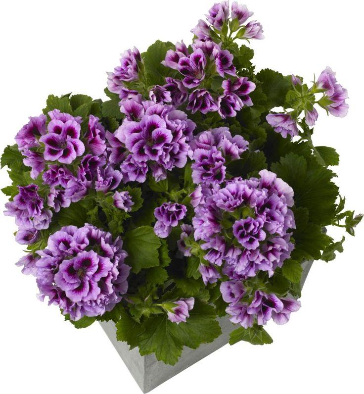 Produkter | Blomsterplanter ENGELSK PELARGONIUM  Pelargonium x domesticum  Gammel klassisk stueplante som har fått ny renessanse. Plasseres lyst , men ikke direkte sollys. Trenger mye vann, men la tørke opp mellom hver vanning. Bruk den gjerne som sommerblomst etter at nattefrosten er over.  Sortimentet og priser kan variere i de ulike hagesentrene.
