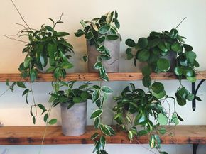 Our five favorite Hoya cultivars: carnosa, tricolor, obovata, keysii, and rubra. Care is easy if you follow a few rules - learn how at pistilsnursery.com/hoya-plant-care
