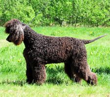 Totti the Irish water spaniel