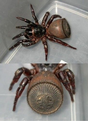 The beautiful and intricate abdomen of a ravine trapdoor spider. Looks like a mayan symbol or something