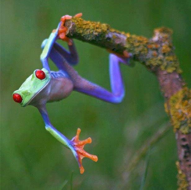 Red Eyed Tree Frog... Just hanging around