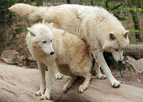 witte wolf wuppertal IMG_0256 by j.a.kok, via Flickr