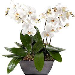 Compositie met witte orchideeën