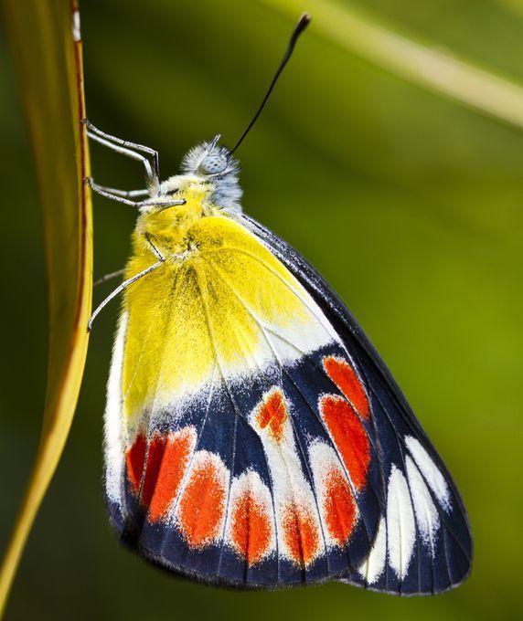 Картинки бабочки гюнтер
