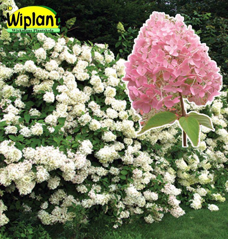 Hydrangea pan. 'Grandiflora' Klon: Närpes. Syrenhortensia. Stora vita blommor från augusti. Blommar jämnt och får tidigt rosa färg. Höjd: 1-2 m.