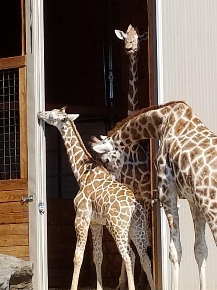 Allysa Swilley Facebook: Allysa doing her giraffe talk with Oliver | allysa swilley instagram | allysa swilley twitter | Three of them with Allysa