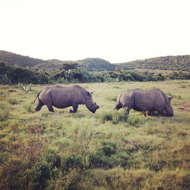 So what did you see on your morning stroll?    Recently for @MegKHo it was a couple of rhinos!    #SouthAfrica #RoamancingSA