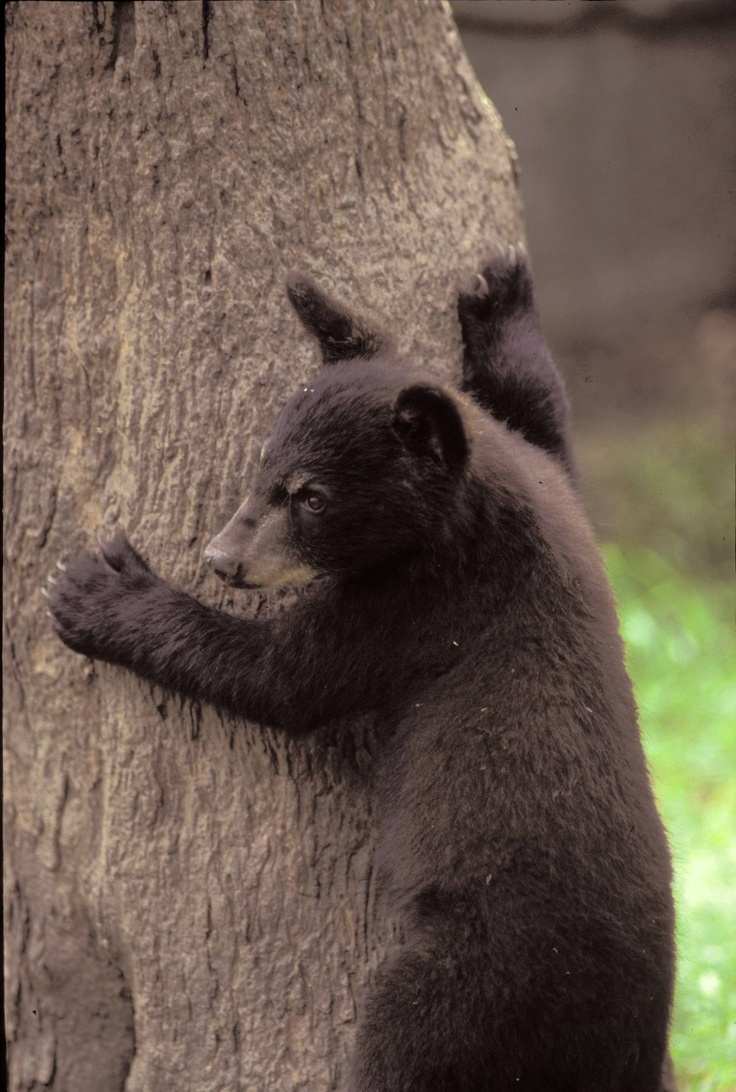 Bear cub in Great Smoky Mountains National Park