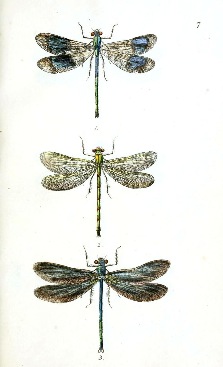 vintage dragonfly prints | Animal – Insect – Dragonfly 1 | Vintage Printable at…